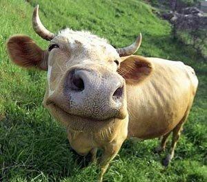 vaca_flz